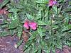 Lungwort Raspberry Splash