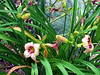 Daylilies and Fescue