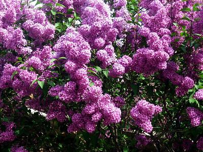 Large Lilac Bush 1.JPG