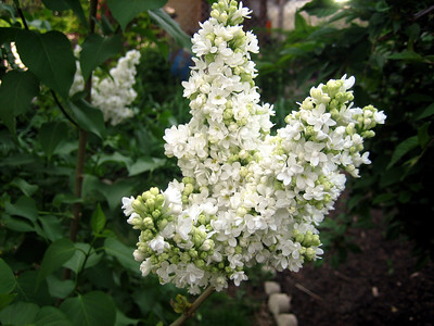 White Lilac 2.JPG