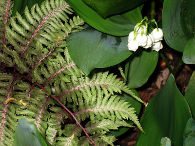 Lily of the Valley and Painted Fern.JPG