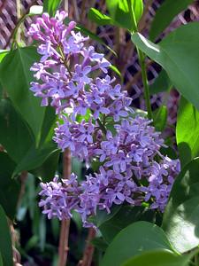 Bluish Lilac.JPG