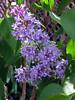 Bluish Lilac