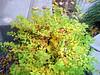 Gold Mound Spiraea