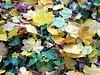 Enlgish Ivy and Leaves