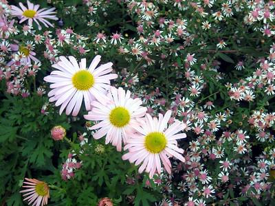 Korean Chrysanthemum and Lady in Black Asters.JPG