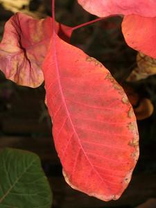 Cotinus Leaf.JPG