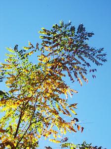 Kentucky Coffee Tree.JPG