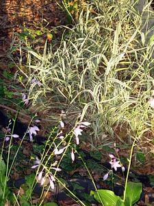 Hostas and Ribbon Grass.JPG