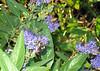 Caryopteris and Bumblebee
