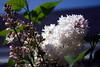 krasavitsa moskvy lilac