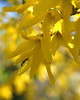 Forsythia with Insect