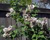 krasavitsa moskvy lilac 2