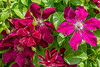 Group of Red Clematis