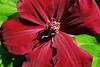 Cardinal Rouge 3