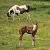 Horses<br /> Albion, Oklahoma<br /> 057-6529a