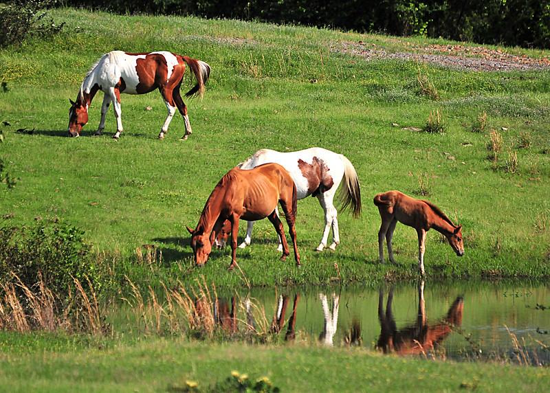 Horses<br /> Albion, Oklahoma<br /> 056-6419a