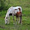 Horses<br /> Albion, Oklahoma<br /> 057-6504a