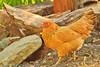 A chicken taken June 11, 2011 near Bridgeville, CA.