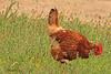 A Domestic Chicken taken Aug 21, 2010 near Fruita, CO.