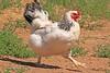 A Domesticated Chicken taken Aug 10, 2010 near Denver, CO.