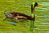 A Domestic Duck taken Feb. 25, 2012 in Tucson, AZ.
