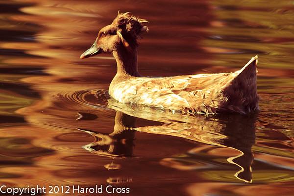 A Domestic Duck taken Feb. 25, 2012 in Tucson, AZ.