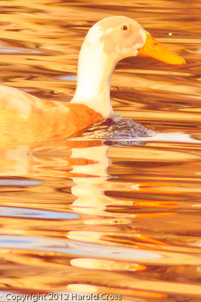 A Domesticated Duck taken Jan. 12, 2012 in  Grand Junction, CO.