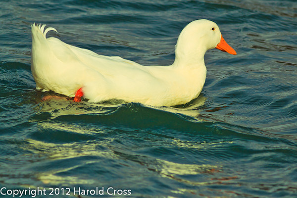 A Domestic Duck taken Feb. 8, 2012 in Tucson, AZ.