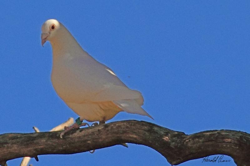 A Domesticated Pigeon taken Nov. 2, 2010 near Fruita, CO.