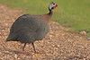 A Helmeted Guineafowl taken July 24, 2010 near Portales, NM.