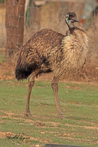 An Emu taken Mar. 29, 2011 in Grand Junction, CO.