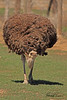 An Ostrich taken Mar. 31, 2011 in Grand Junction, CO.