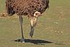 An Ostrich taken Mar. 31, 2011 in Grand Junction, CO.