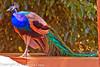 A Common Peafowl taken July 19, 2012 in Albuquerque, NM