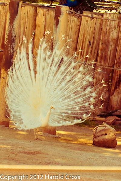 A Common Peafowl taken Feb. 25, 2012 in Tucson, AZ.