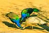 Common Peafowls taken Feb. 25, 2012 in Tucson, AZ.