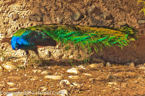 A Common Peafowl taken Feb. 22, 2012 in Tucson, AZ.