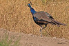 A Common Peafowl taken Sep 9, 2010 near Grand Junction, CO.