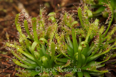Drosera x hybrida (Drosera intermedia x Drosera filiformis), breaking dormancy; Burlington County, New Jersey, stock plant, Jackson, New Jersey  2013-03-27  #2