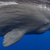 Sperm Whale Up Close