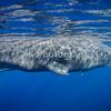 Solo Male Sperm Whale