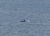 A bit later... a pod of dolphins swam just off shore.....