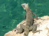 It was cool how all of the iguanas would sun themselves while facing the sea. Kinda like me!