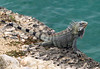 And then the sounds of scurrying got louder and out came some big iguanas!