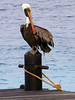 A pelican drying it's wings and sunning itself.