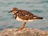 And then there was this cute little Ruddy Turnstone.