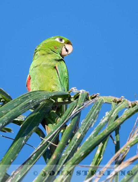 Hispaniolan Parakeet