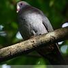 White-fronted Quail-Dove