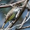 Stolid Flycatcher